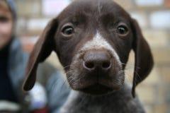 Cani da vendere Fotografia Stock Libera da Diritti
