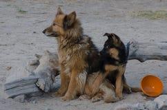 Cani dei compagni Immagini Stock