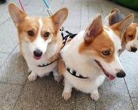 Cani dei gemelli Fotografie Stock