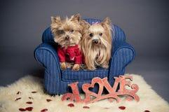 Cani del biglietto di S. Valentino fotografia stock