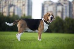Cani del cane da lepre Immagini Stock