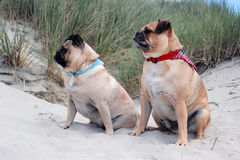Cani del carlino seduti su un paesaggio della spiaggia Immagini Stock