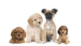 Cani del cucciolo davanti a priorità bassa bianca Immagini Stock