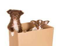 Cani del cucciolo in una casella fotografia stock libera da diritti