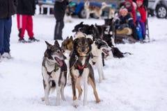 Cani del husky che aspettano azione Fotografia Stock
