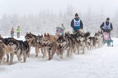 Cani del husky in una corsa della slitta tirata da cani Immagine Stock
