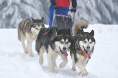 Cani del malamute e del husky al concorso di corsa sleeding Immagini Stock