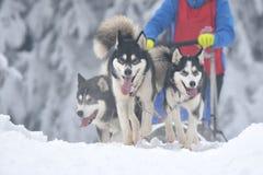 Cani del malamute e del husky al concorso di corsa sleeding Immagine Stock