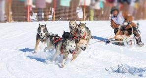 Cani del progetto nell'inverno Immagini Stock Libere da Diritti