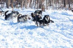 Cani del progetto nell'inverno su Kamchatka Fotografia Stock Libera da Diritti