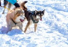 Cani del progetto nell'inverno su Kamchatka Fotografia Stock