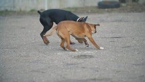 Cani del pugile e del doberman video d archivio