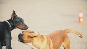 Cani del pugile e del doberman archivi video