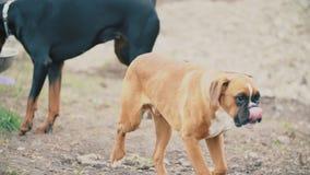 Cani del pugile e del doberman stock footage