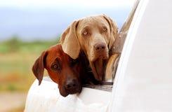Cani dell'azienda agricola su una raccolta fotografia stock