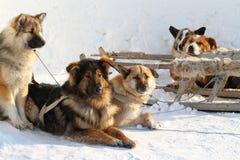 Cani della cambiale Fotografie Stock