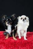 cani della chihuahua del Lungo-cappotto Fotografia Stock Libera da Diritti