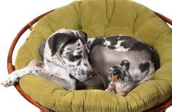 Cani della chihuahua e del grande danese Immagine Stock