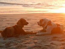 Cani della spiaggia al tramonto Fotografia Stock