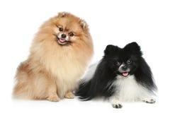 Cani dello Spitz di Pomeranian Immagine Stock Libera da Diritti