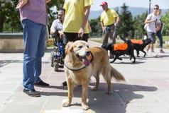 Cani di assistenza e della guida Immagine Stock Libera da Diritti