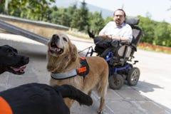 Cani di assistenza e della guida Fotografia Stock Libera da Diritti