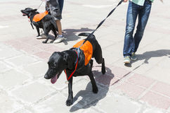 Cani di assistenza e della guida Fotografie Stock Libere da Diritti