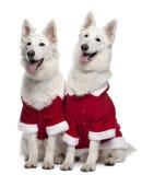 Cani di Berger Blanc Suisse Immagini Stock