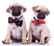 Cani di cucciolo del pug del signore e della signora fotografia stock