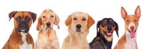 Cani di Differents che esaminano macchina fotografica Fotografia Stock