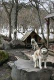 Cani di Hutsky Fotografie Stock