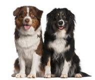 Cani di pastore australiani Immagini Stock Libere da Diritti