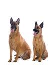 Cani di pastore belgi Fotografia Stock Libera da Diritti
