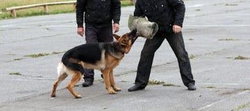 Cani di pastore tedesco Immagine Stock Libera da Diritti