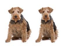 Cani di peso eccessivo e sottili fotografie stock libere da diritti