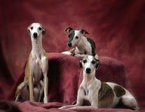 3 cani di piccoli levrieri inglesi Fotografia Stock