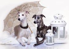 Cani di piccoli levrieri inglesi delle coppie Fotografie Stock