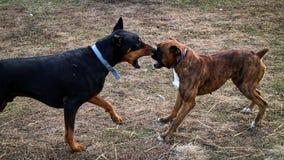 Cani di rabbia Fotografia Stock