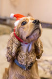 Cani di razza vestiti meravigliosamente Fotografia Stock