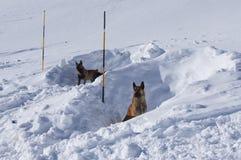 Cani di salvataggio della valanga Fotografia Stock Libera da Diritti