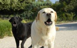 Cani di scortecciamento fotografia stock libera da diritti