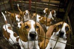 Cani di segugio di anima fotografie stock