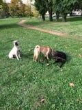 Cani di sharpei di chien del cucciolo di Labrador del cane Fotografia Stock Libera da Diritti