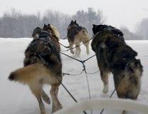Cani di slitta Fotografie Stock