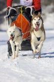 Cani di slitta Fotografia Stock