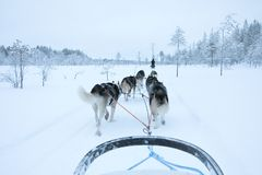 Cani di slitta che eseguono e che tirano una slitta un giorno di inverno bianco Immagini Stock