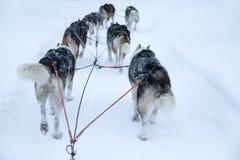 Cani di slitta che eseguono e che tirano una slitta un giorno di inverno bianco Fotografia Stock Libera da Diritti