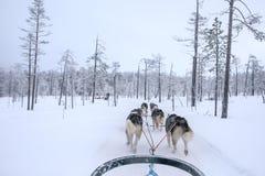 Cani di slitta che eseguono e che tirano una slitta un giorno di inverno bianco Immagine Stock