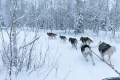 Cani di slitta che eseguono e che tirano una slitta un giorno di inverno bianco Fotografie Stock Libere da Diritti