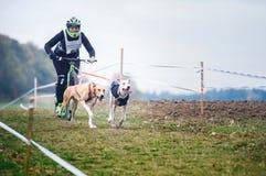 Cani di slitta che tirano il motorino con la donna, Mushing fuori dalle gare di corsa campestre della neve in foto rumorosa del t fotografia stock